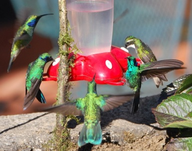 Hummingbirds at Savegre Mountain Lodge, CR