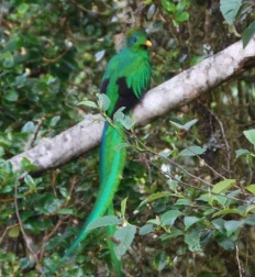 The Resplendent Quetzal, CR. One of my favorite moments.