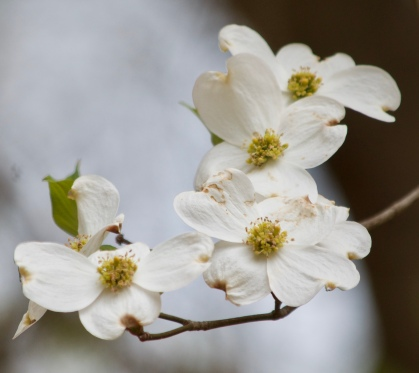 The dogwood dotted the woods like cotton in the trees.