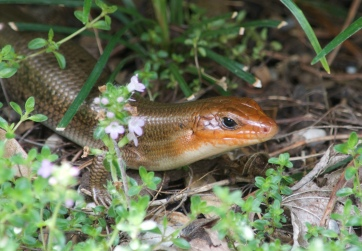 Skink, the lizard of Georgia