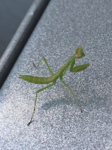 The teeniest baby mantis ever. Hubby spotted her while pumping gas