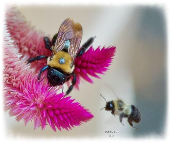 Bee Camaraderie/Photography/Poetry