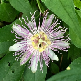 A few Passion Flowers still remain