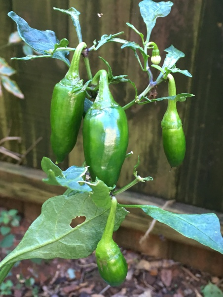 The peppers don't know Winter is whispering...