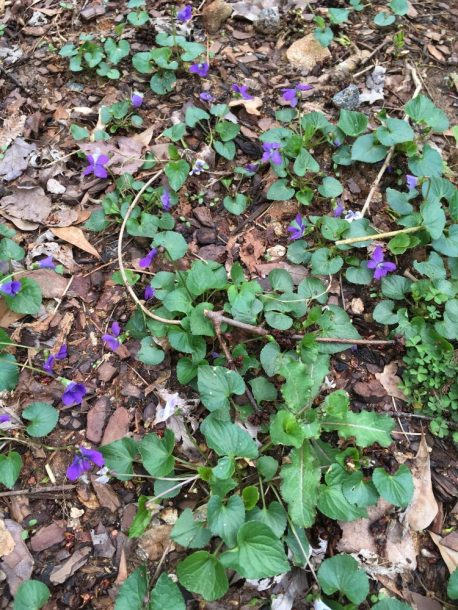 Too many might not even see these tiny wild violets and tread upon their faces